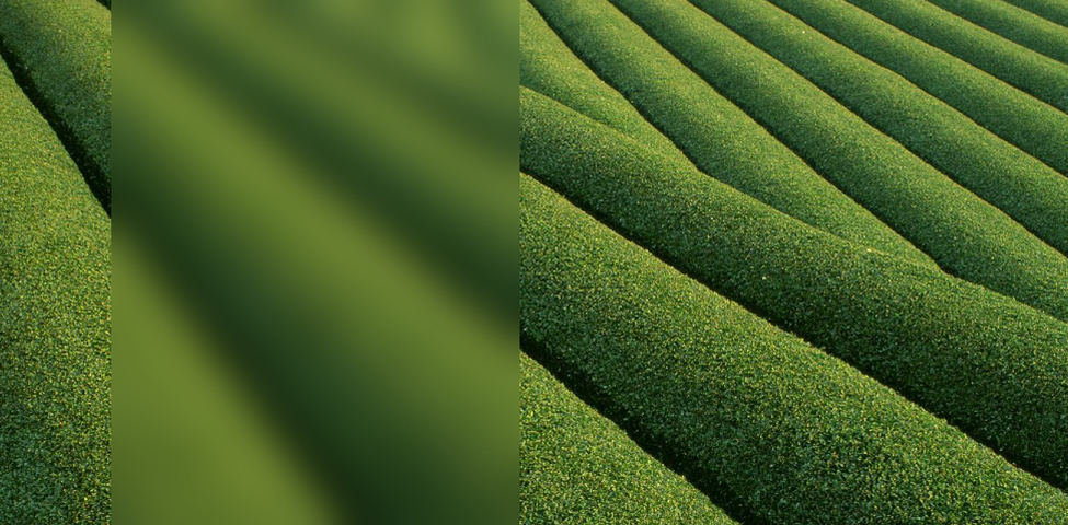 Home Page Background - Tea Field