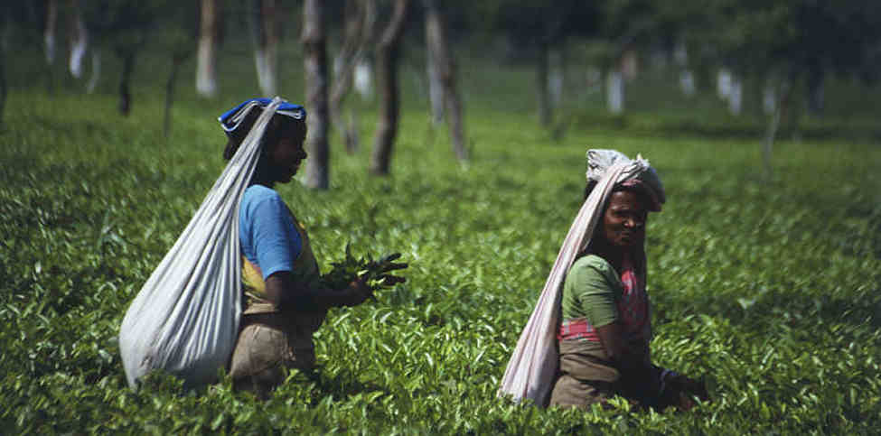 Two woman picking tea in a field.